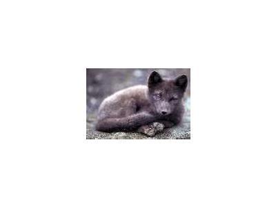 Arctic Fox On St Paul Island In The Pribilofs 00749 Photo Small Wildlife