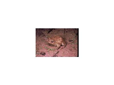 Houston Toad 00758 Photo Small Wildlife
