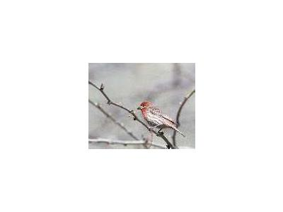House Finch 00785 Photo Small Wildlife