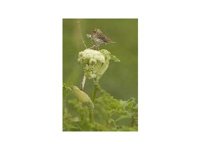 Chowiet Island Savannah Sparrow 00788 Photo Small Wildlife