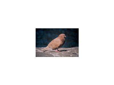 Rock Dove Pigeon 00791 Photo Small Wildlife