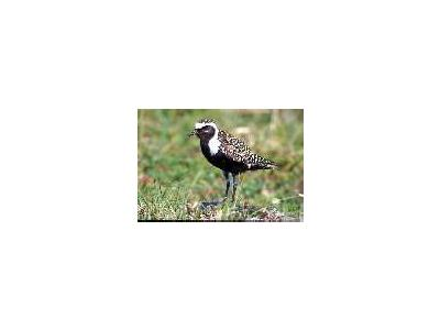American Golden Plover Male 1998 00796 Photo Small Wildlife