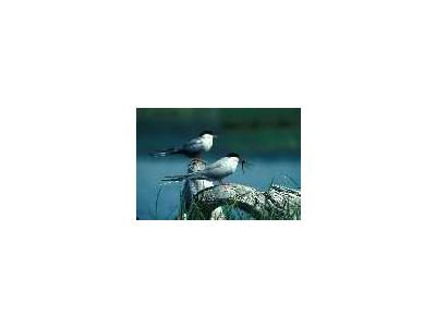 Arctic Tern Pair 1989 00799 Photo Small Wildlife