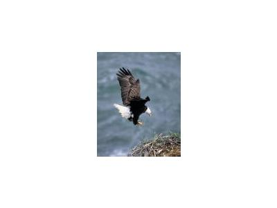 Bald Eagle 00803 Photo Small Wildlife