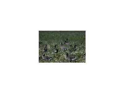 Aleutian Cacklling Goose Capture And Translocation1978 1991 Album 00847 Photo Small Wildlife
