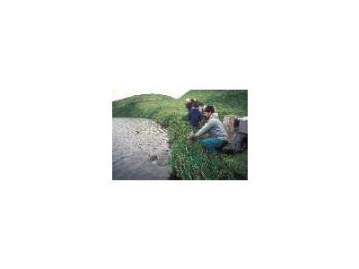 Aleutian Cacklling Goose Capture And Translocation1978 1991 Album 00848 Photo Small Wildlife
