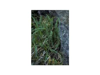 Aleutian Shield Fern 00854 Photo Small Wildlife