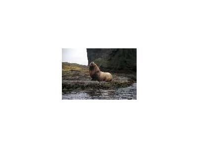 Agattu Island Steller Sea Lion Bull 00934 Photo Small Wildlife