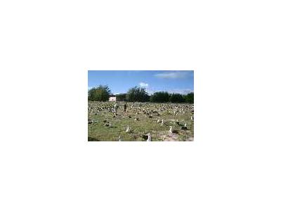Endangered Laysan Albatross Count At Midway Atoll NWR 00960 Photo Small Wildlife
