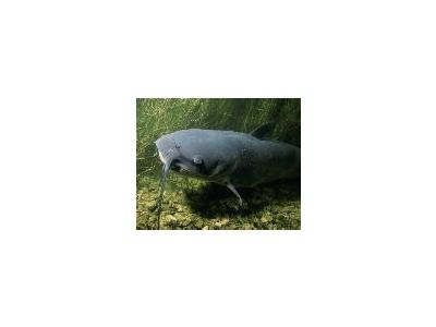 WO5751 Channel Catfish 00973 Photo Small Wildlife