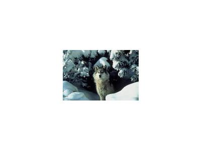 Gray Wolf 00975 Photo Small Wildlife