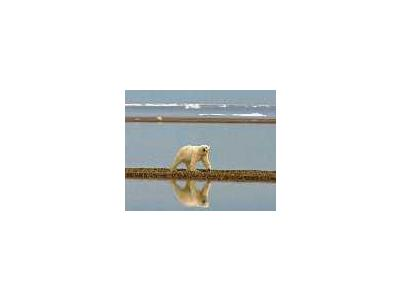 Polar Bear Walking Along The Coast 00983 Photo Small Wildlife