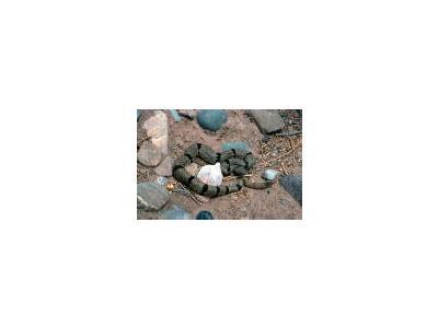 Banded Rock Rattlesnake 00992 Photo Small Wildlife