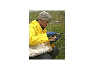 Measuring A Tundra Swan 00994 Photo Small Wildlife