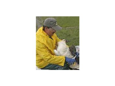 Tundra Swan Banding 00995 Photo Small Wildlife