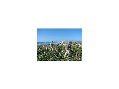 WOE197 Counting Laysan Albatross Nests 01002 Photo Small Wildlife