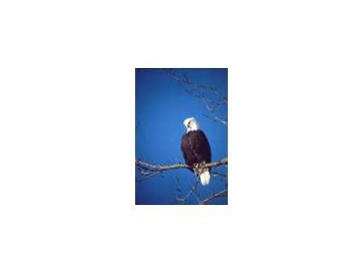 Bald Eagle 01017 Photo Small Wildlife