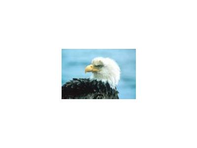 Bald Eagle 01018 Photo Small Wildlife