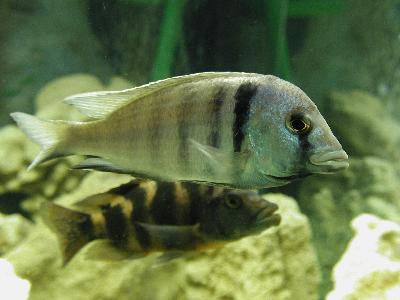 Photo Big Aquarium Fish 36 Animal