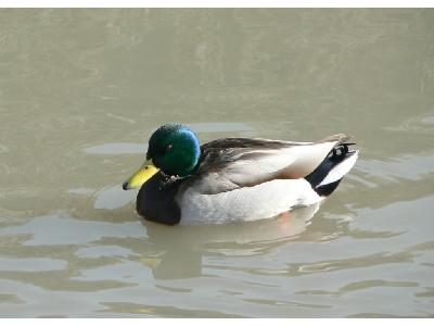 Photo Big Swimming Mallard Animal