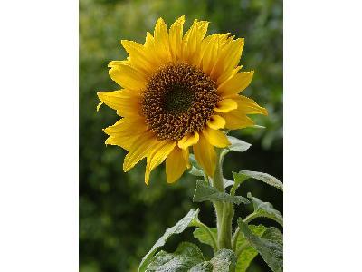 Photo Big Sun Flower 3 Flower