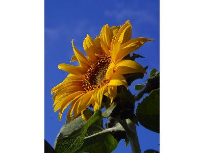 Photo Big Sunflower 4 Flower