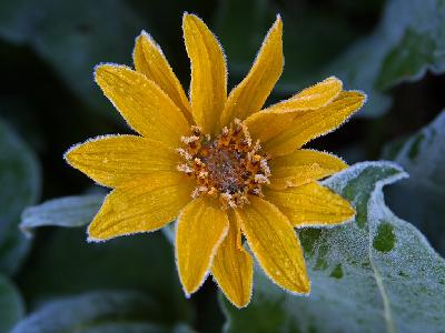 Photo Big Sunflower Frost Flower