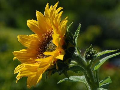 Photo Big Sunflower Flower