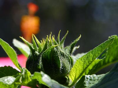 Photo Big Sunflowers Buds Flower