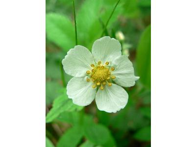 Photo Big Wild Strawberry Flower Flower