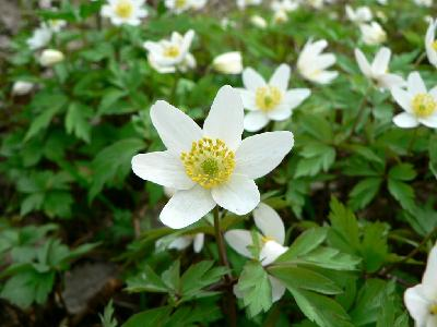 Photo Big Wood Anemone 3 Flower