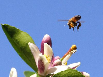 Photo Big Bee Pollen 2 Insect
