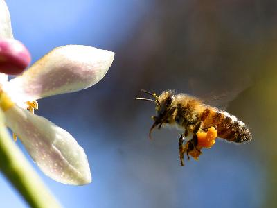Photo Big Bee Pollen Insect