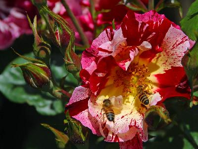 Photo Big Bees And Roses Insect