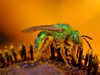 Photo Big Green Sweat Bee Insect