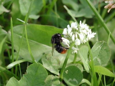 Photo Big Humble Bee Insect
