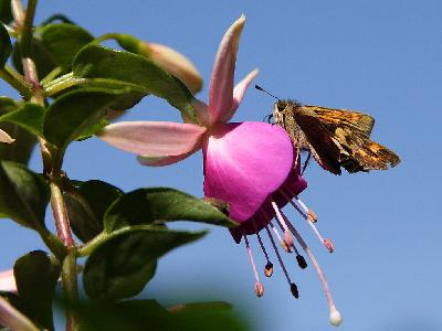 Photo Big Moth And Fuchsia Insect