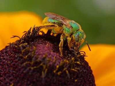Photo Big Pollen And Sweat Bees Insect