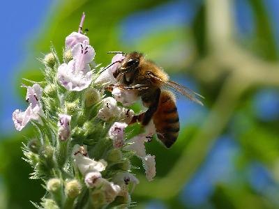 Photo Big Pollinating Bee Insect