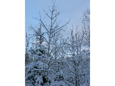 Photo Big Snowy Trees Landscape