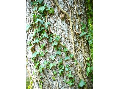 Photo Big Ivy Climbing Tree Plant