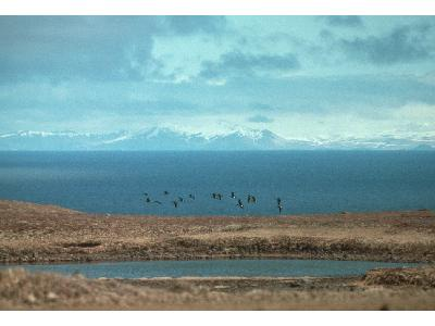 Aleutian Cackling Geese Flock Flying Over Wetland 00060 Photo Big Wildlife