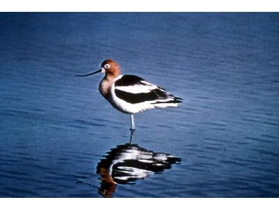 American Avocet 00068 Photo Big Wildlife