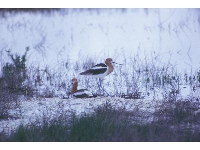 American Avocet Pair 00071 Photo Big Wildlife