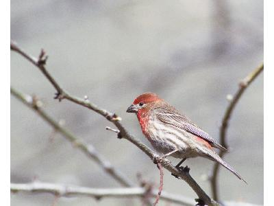 House Finch 00135 Photo Big Wildlife