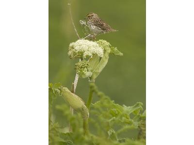 Chowiet Island Savannah Sparrow 00138 Photo Big Wildlife