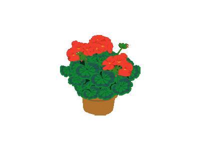 Geranium Ganson Plants