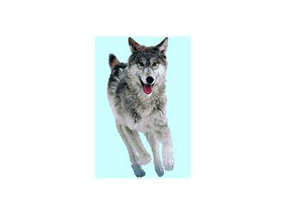 Logo Animals Wolves 009 Animated